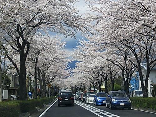 はだの桜みち