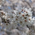 市内 桜スポット 実景ロケが行われました